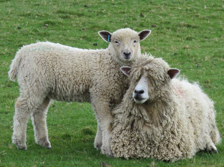 Leicester Longwool sheep