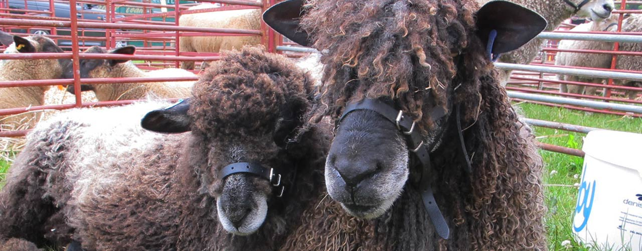 Contact Leicester Longwool Sheep Breeders Association